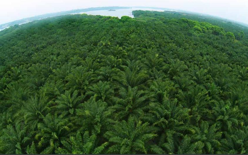 El monocultivo de palma africana y su aceite tumban las selvas del planeta